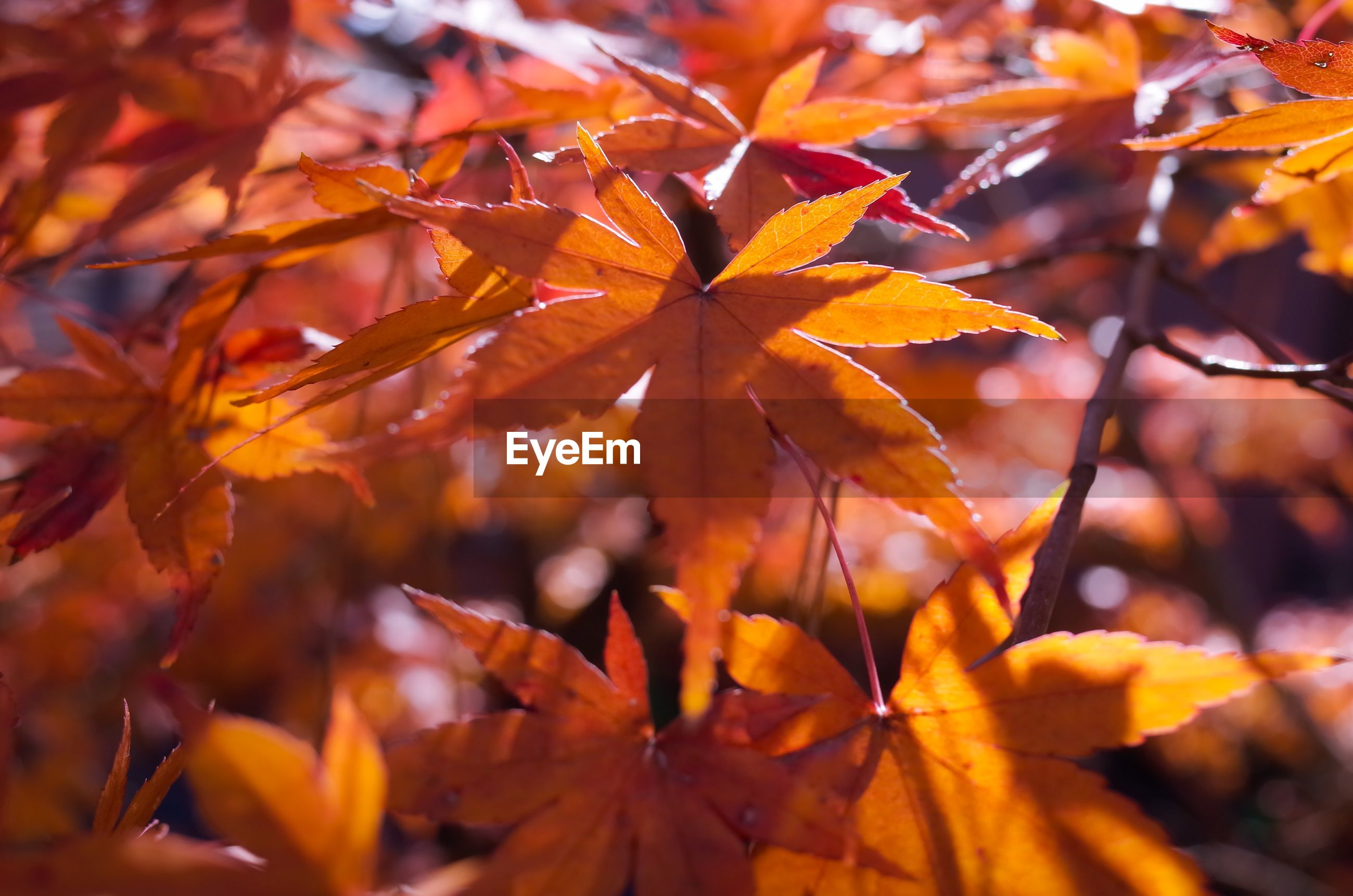autumn, change, leaf, season, leaves, branch, tree, orange color, focus on foreground, nature, maple leaf, close-up, leaf vein, beauty in nature, growth, tranquility, yellow, full frame, day, outdoors