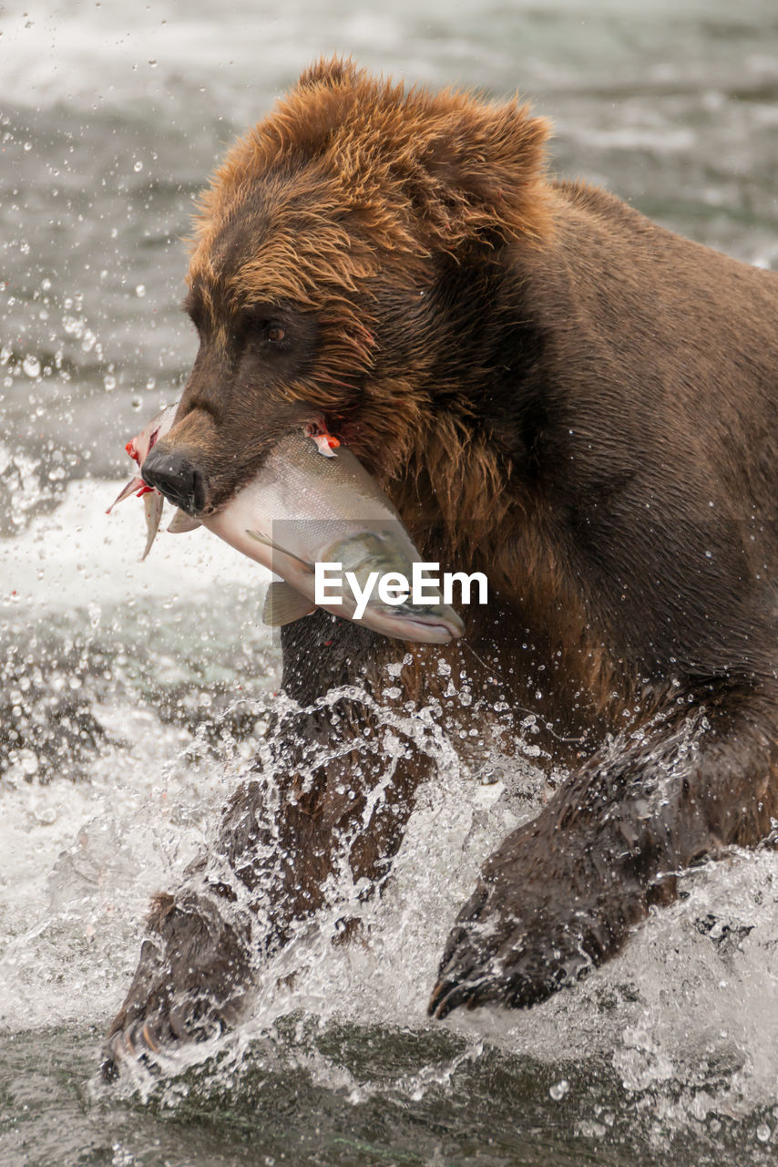High Angle View Of Bear Carrying Fish In Mouth While Running On River