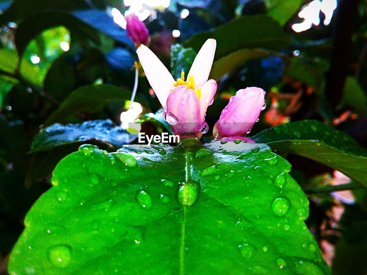plant, water, drop, beauty in nature, growth, freshness, flower, close-up, flowering plant, leaf, vulnerability, plant part, wet, fragility, nature, green color, focus on foreground, no people, petal, pink color, flower head, purity, outdoors, rain, raindrop, dew, purple