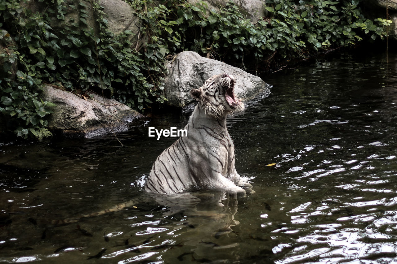 White Tiger Roaring In Water