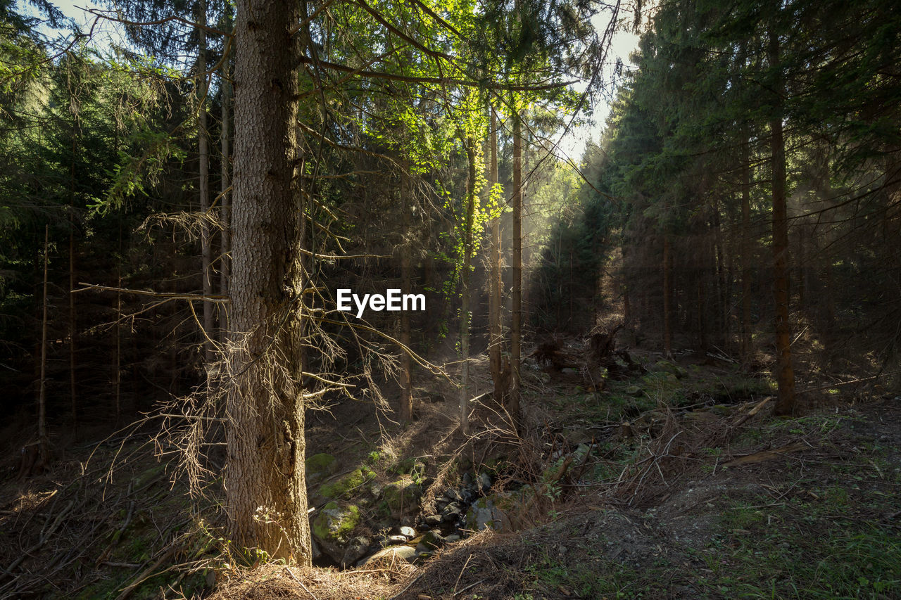 tree, forest, land, plant, trunk, tree trunk, tranquility, non-urban scene, nature, no people, woodland, beauty in nature, growth, day, scenics - nature, tranquil scene, outdoors, environment, landscape, green color, pine woodland, rainforest