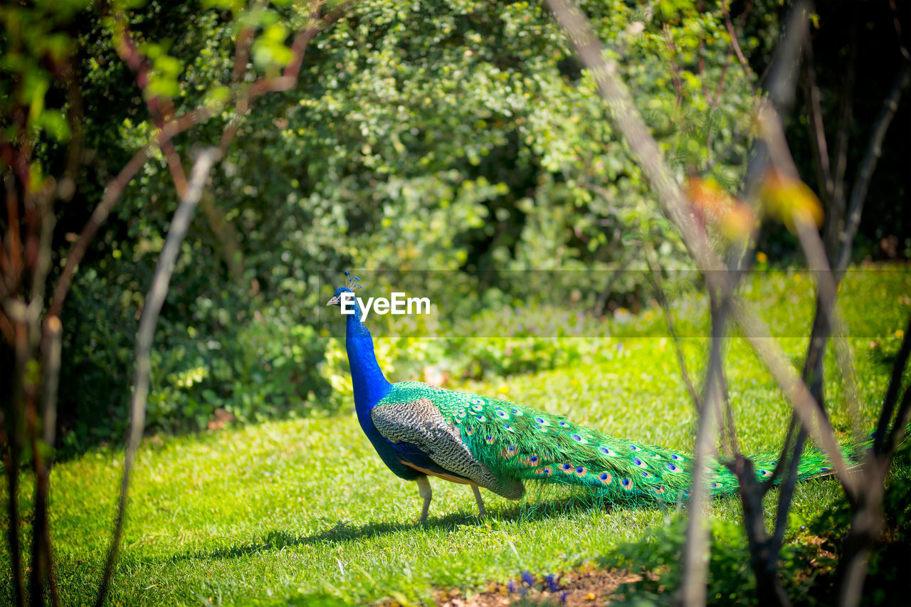 bird, animal themes, animal, peacock, one animal, animal wildlife, vertebrate, animals in the wild, plant, nature, tree, green color, beauty in nature, blue, no people, day, side view, selective focus, outdoors, male animal