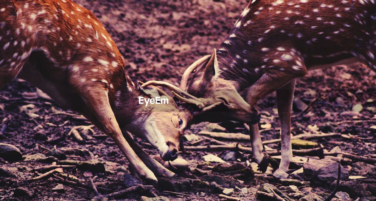 animal, animal themes, mammal, deer, animal wildlife, group of animals, animals in the wild, vertebrate, land, field, no people, nature, horned, antler, day, two animals, domestic animals, herbivorous, animal head