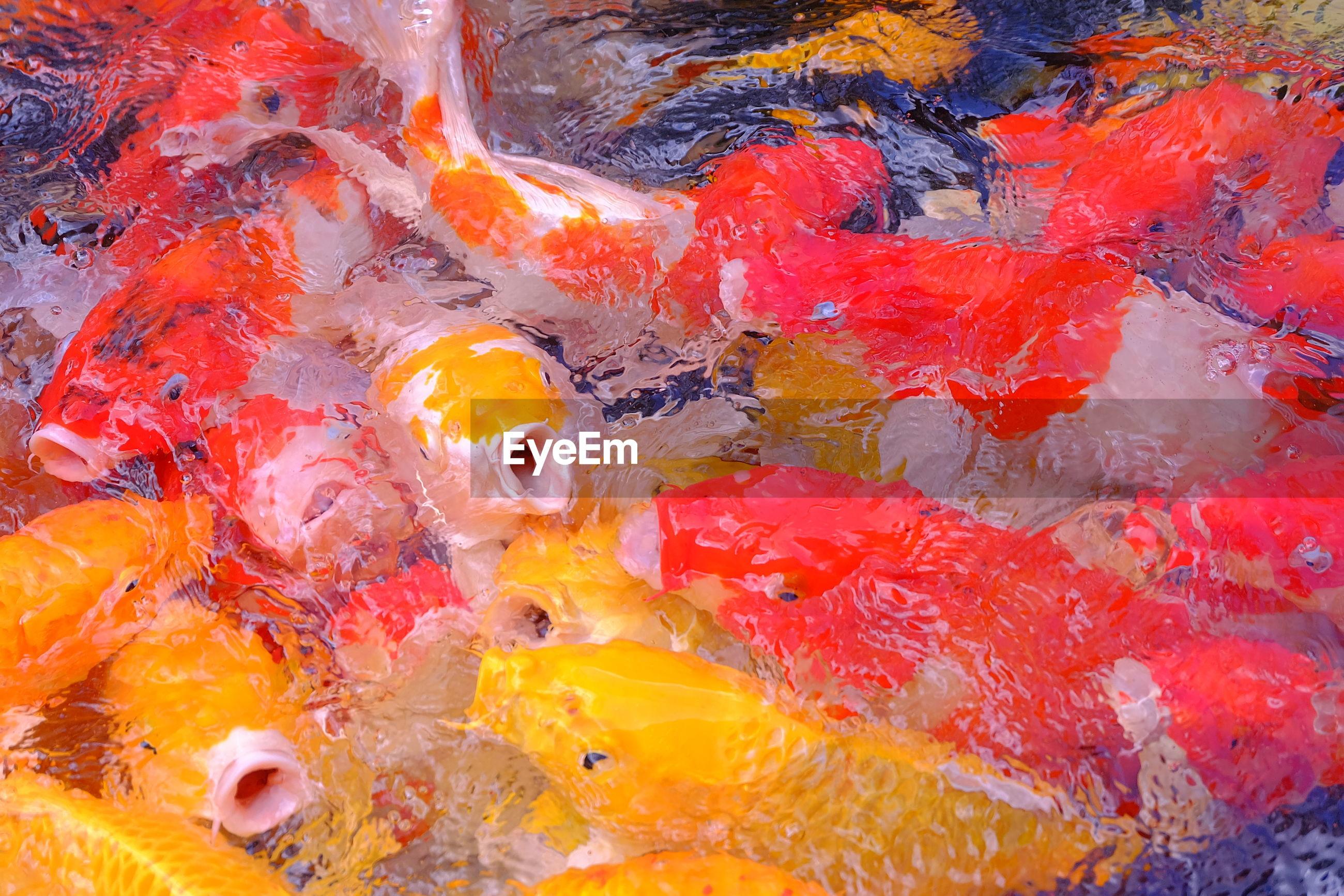 Fancy carp fish in pool