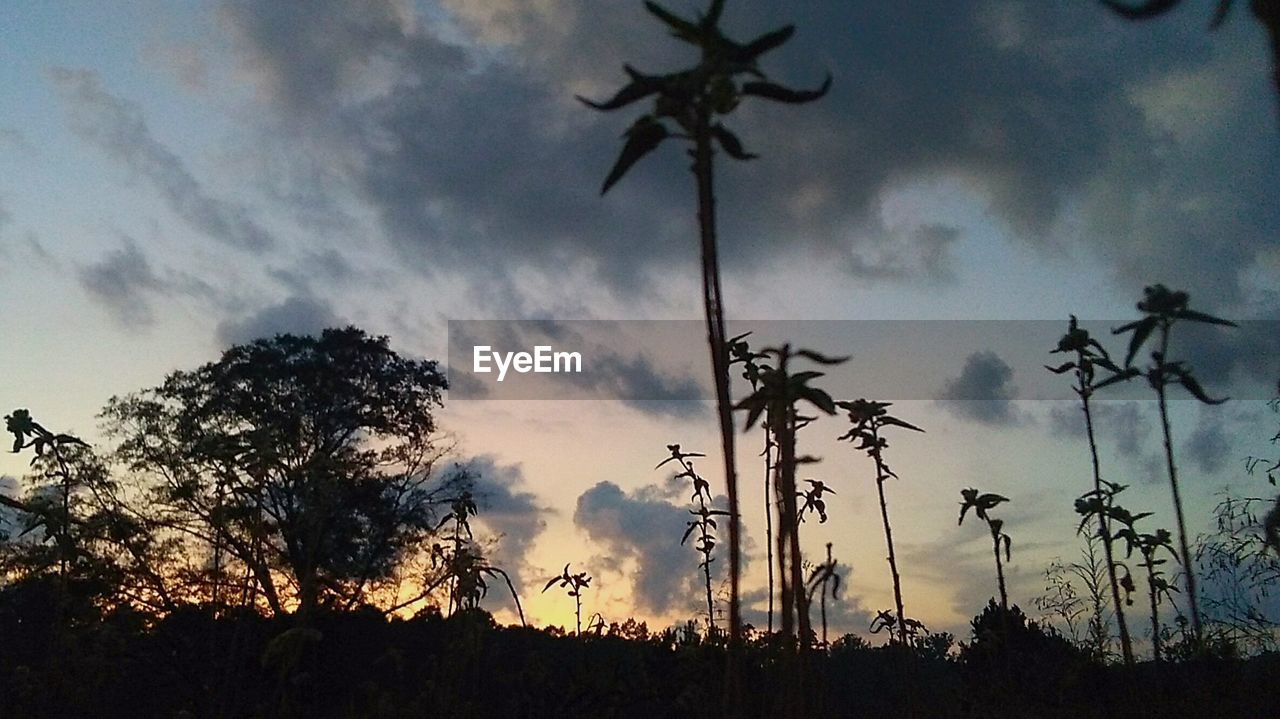 silhouette, tree, cloud - sky, sky, growth, nature, no people, outdoors, scenics, sunset, low angle view, plant, beauty in nature, landscape, day
