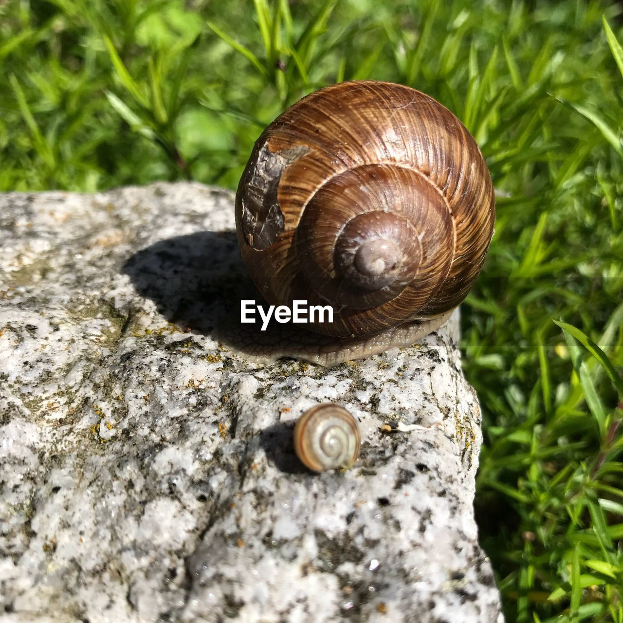 shell, invertebrate, mollusk, animal wildlife, animal, snail, animal themes, gastropod, animal shell, animals in the wild, one animal, close-up, day, no people, nature, animal body part, boredom, spiral, solid, outdoors
