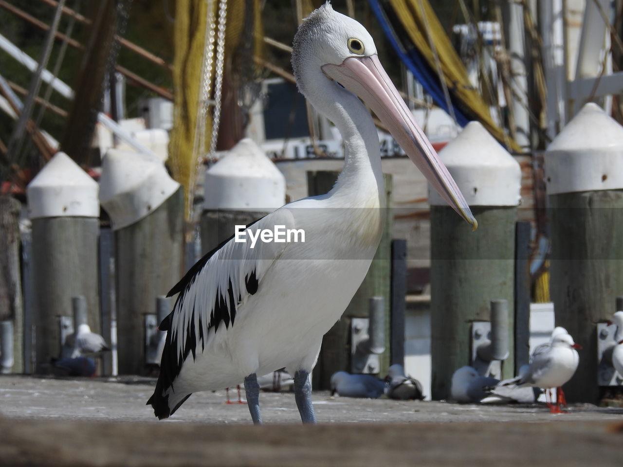 bird, animal themes, animals in the wild, animal wildlife, white color, beak, one animal, day, perching, pelican, crane - bird, no people, nature, outdoors, close-up