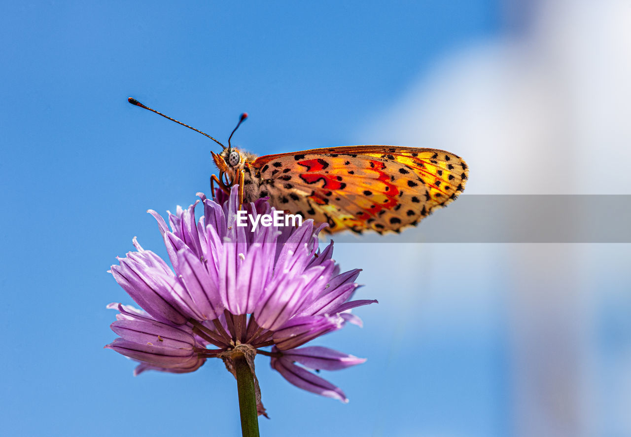 flower, flowering plant, invertebrate, animal themes, animal, insect, animal wildlife, animals in the wild, one animal, beauty in nature, fragility, close-up, vulnerability, plant, freshness, petal, flower head, focus on foreground, animal wing, nature, pollination, no people, pink color, butterfly - insect, outdoors, pollen, butterfly, purple