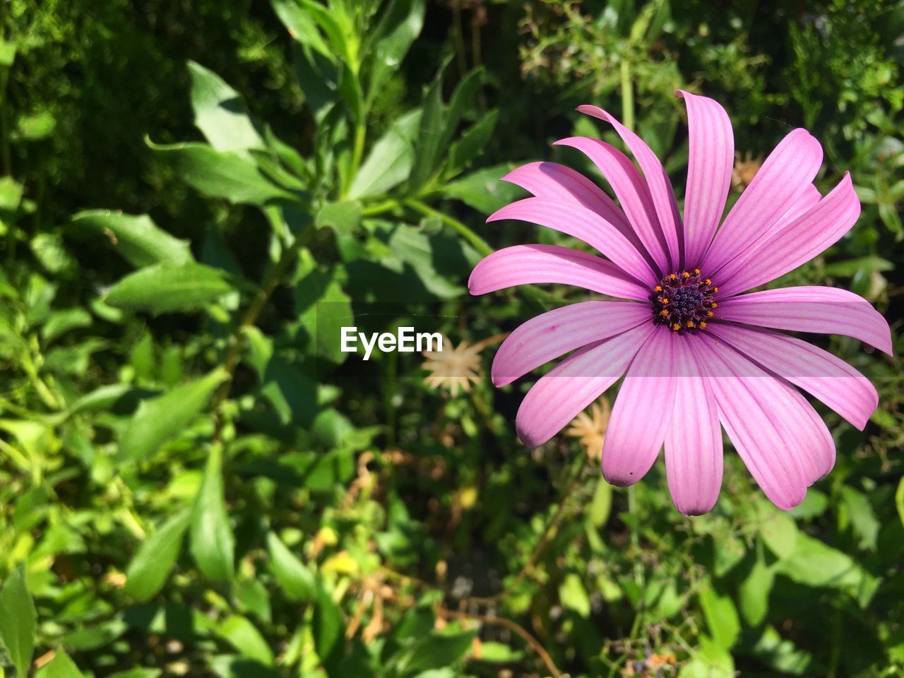 plant, flowering plant, flower, freshness, fragility, vulnerability, growth, beauty in nature, petal, flower head, inflorescence, close-up, pink color, osteospermum, nature, focus on foreground, day, no people, green color, pollen, purple, outdoors