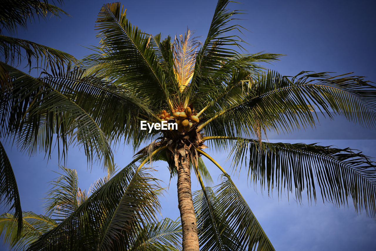 palm tree, tropical climate, sky, tree, low angle view, growth, plant, no people, nature, tall - high, beauty in nature, tree trunk, trunk, palm leaf, leaf, tranquility, coconut palm tree, green color, outdoors, blue, tropical tree, directly below
