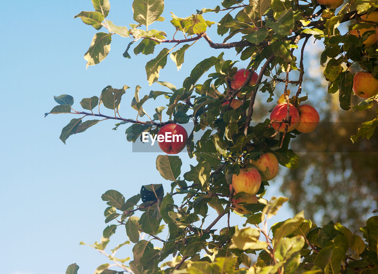 fruit, growth, healthy eating, leaf, tree, plant part, food, food and drink, plant, low angle view, nature, sky, branch, freshness, no people, beauty in nature, day, fruit tree, wellbeing, sunlight, outdoors, ripe, rowanberry