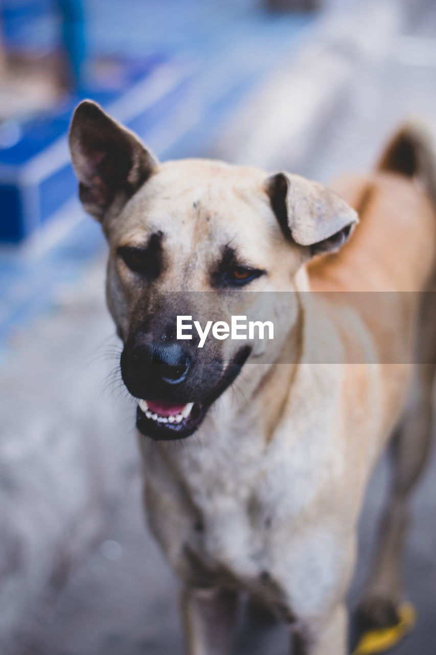 dog, canine, mammal, one animal, pets, domestic, domestic animals, vertebrate, portrait, focus on foreground, no people, looking, close-up, looking at camera, animal body part, day, mouth open, animal mouth