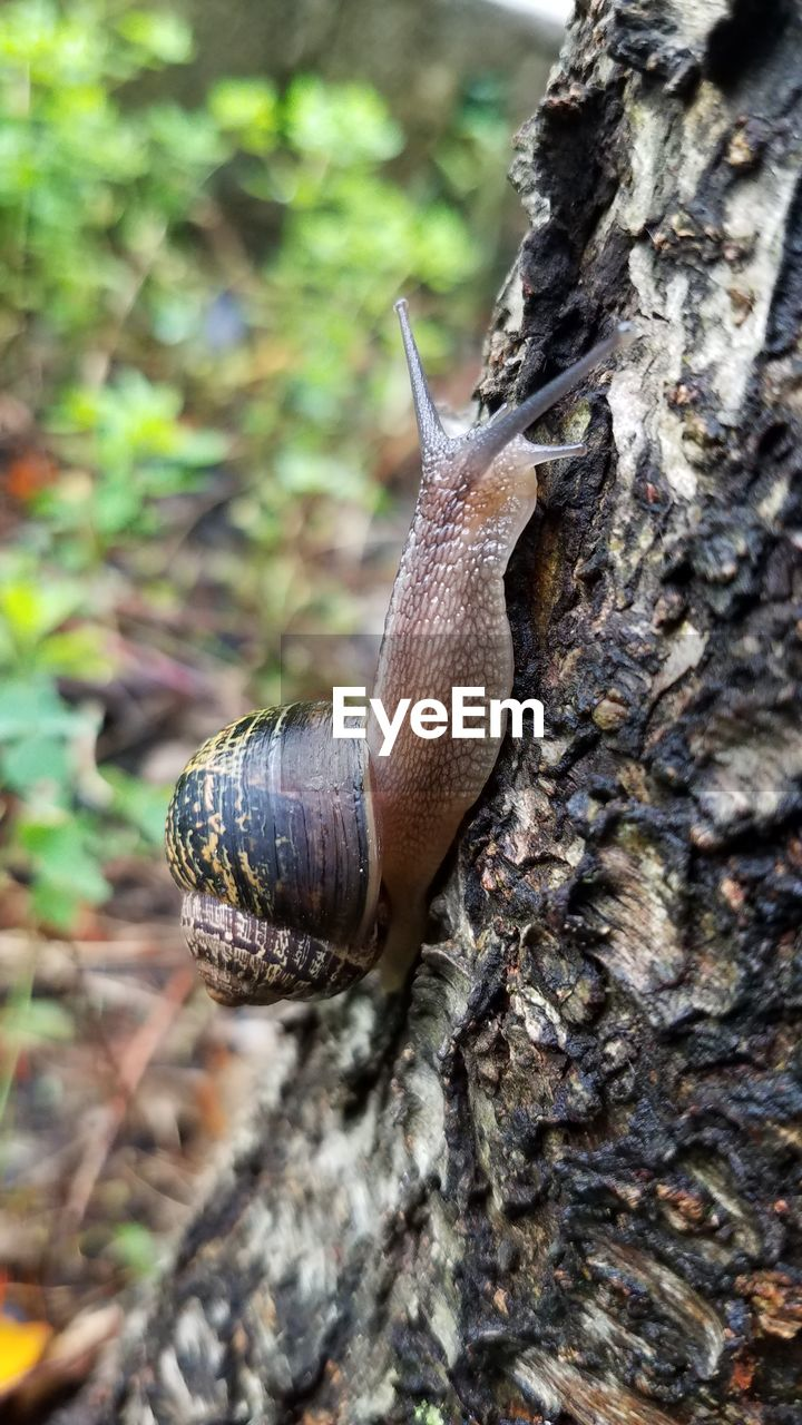 animal wildlife, gastropod, invertebrate, animal, animals in the wild, animal themes, one animal, mollusk, tree trunk, trunk, snail, close-up, plant, tree, nature, day, focus on foreground, no people, selective focus, shell, outdoors, crawling