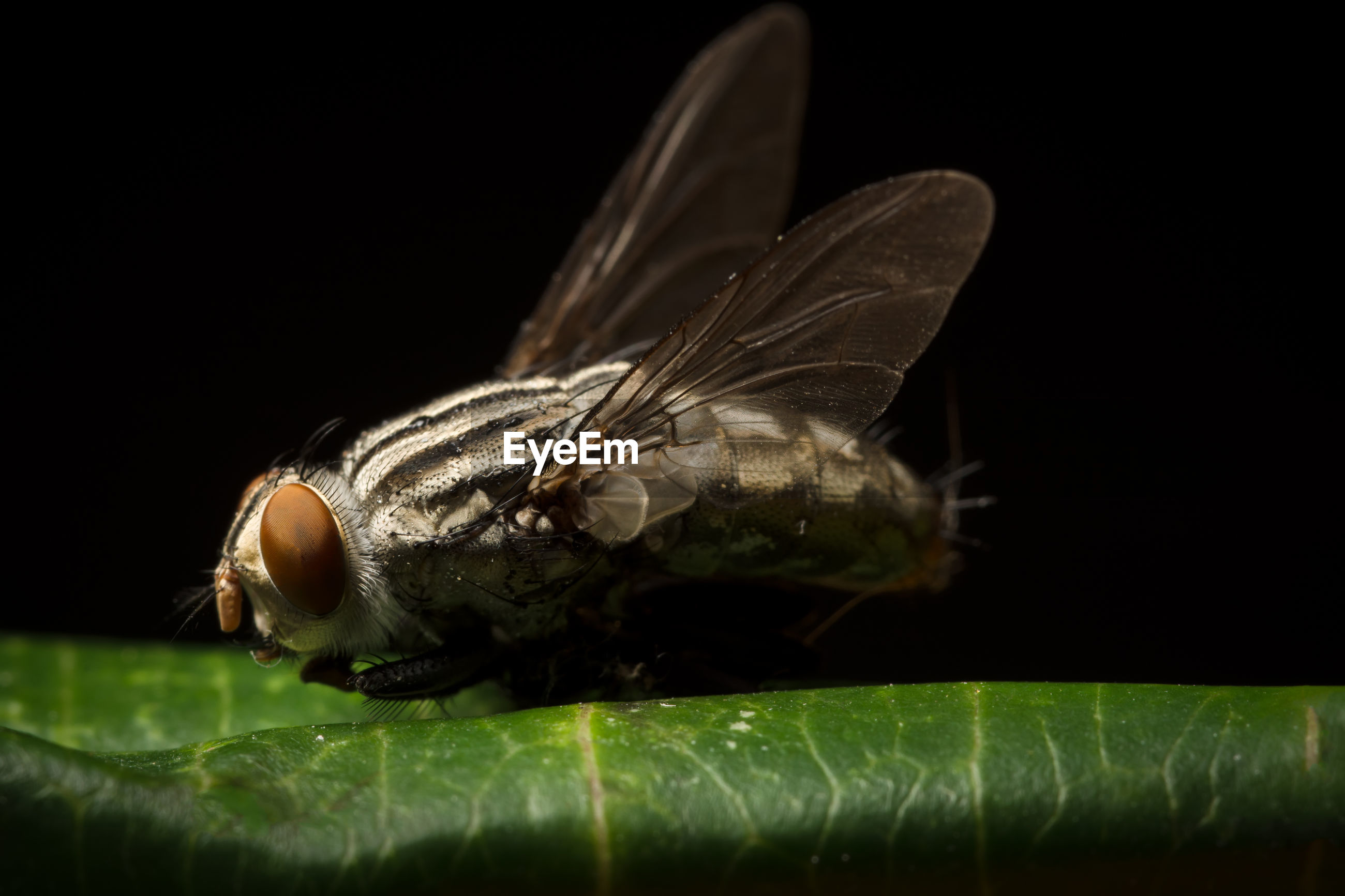 Macro shot of fly on green leaf against black background
