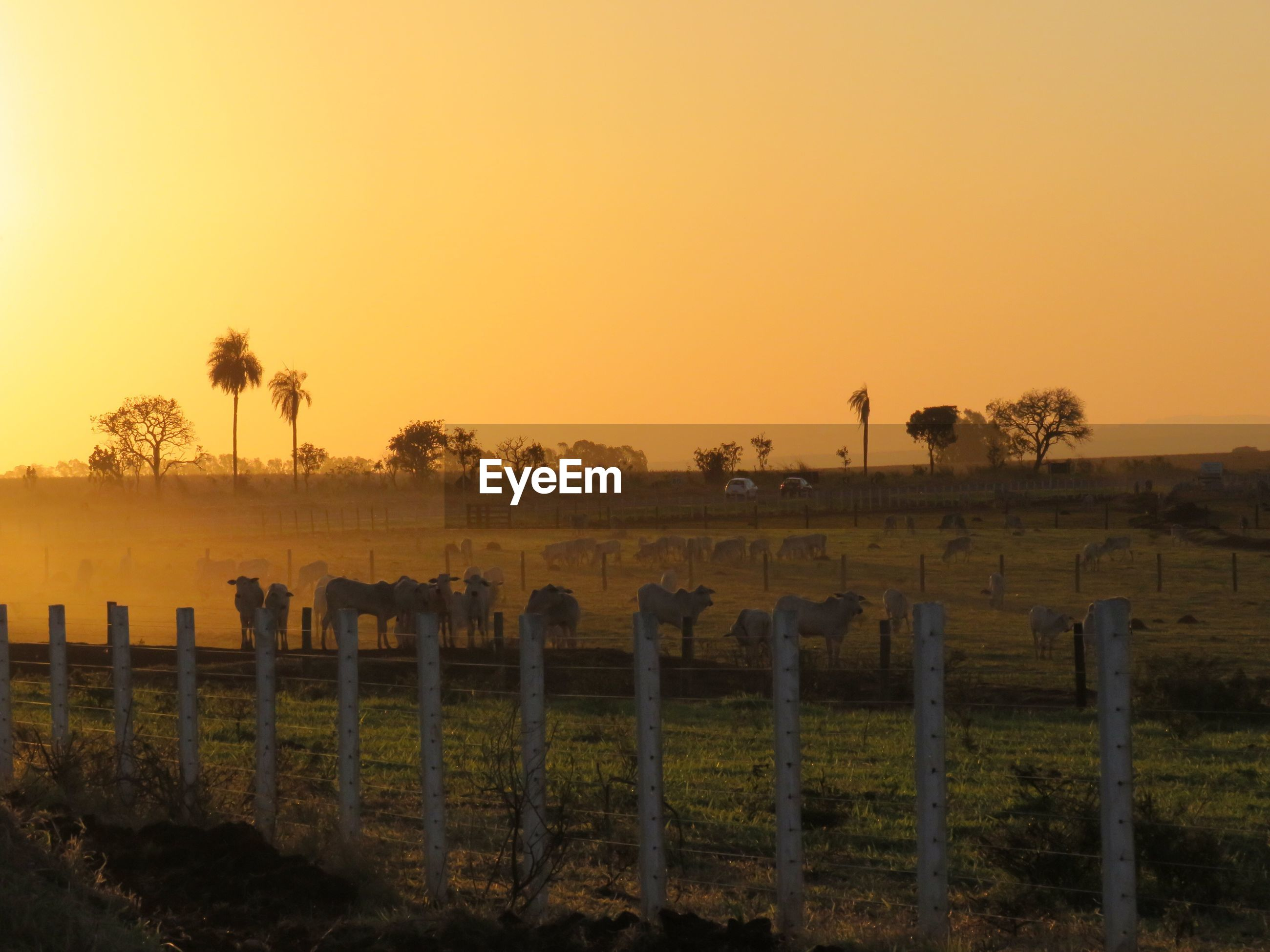Scenic view of agricultural field against clear sky during sunset