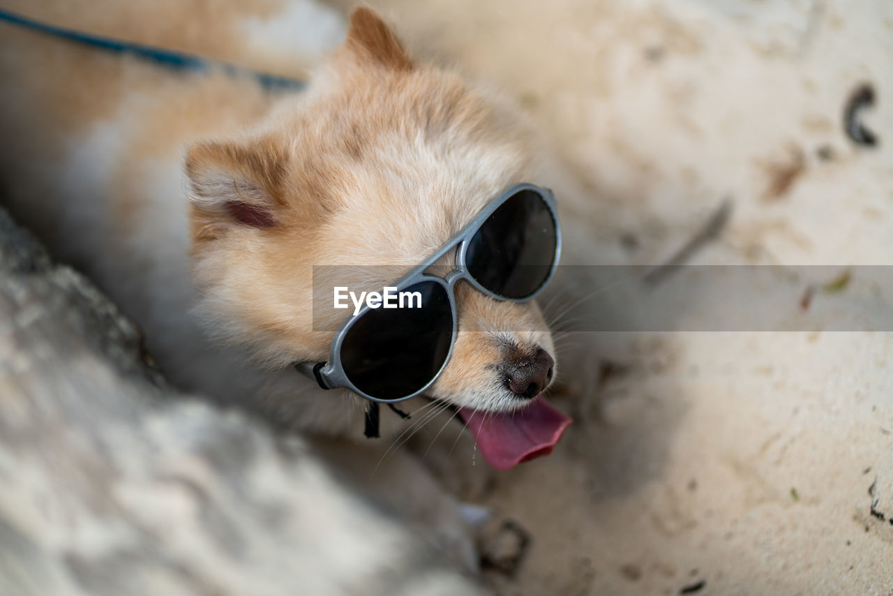 one animal, animal, animal themes, mammal, domestic animals, pets, domestic, vertebrate, canine, dog, glasses, sunglasses, close-up, focus on foreground, fashion, no people, facial expression, animal body part, outdoors, day, pomeranian, mouth open, chihuahua - dog