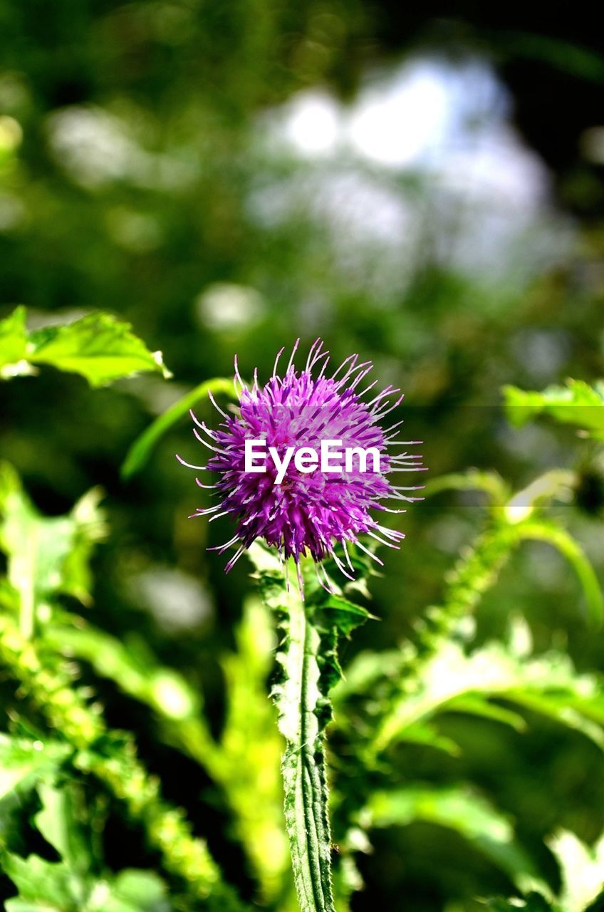 Close-up of thistle growing on plant