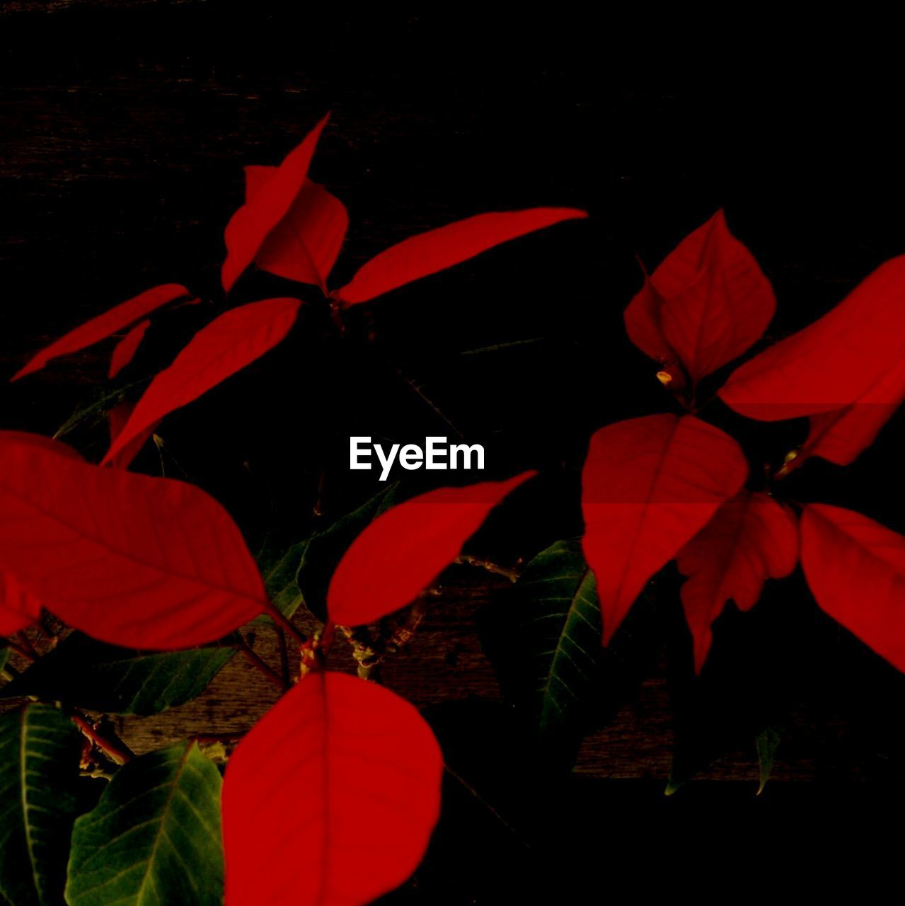 leaf, growth, beauty in nature, plant, red, night, nature, no people, outdoors, close-up, fragility, flower, freshness