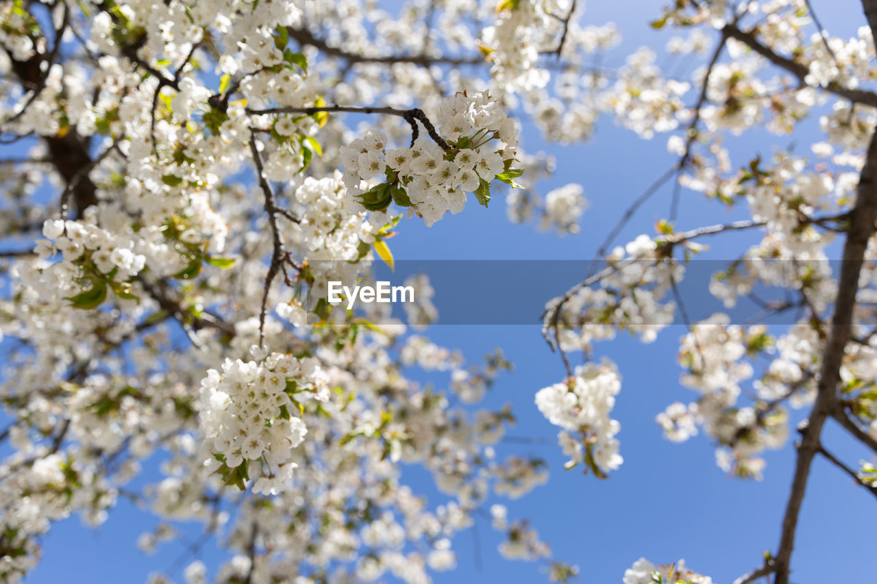 plant, flower, fragility, flowering plant, growth, vulnerability, tree, freshness, beauty in nature, blossom, branch, springtime, low angle view, nature, day, cherry blossom, close-up, no people, white color, focus on foreground, cherry tree, flower head, outdoors, pollen, spring