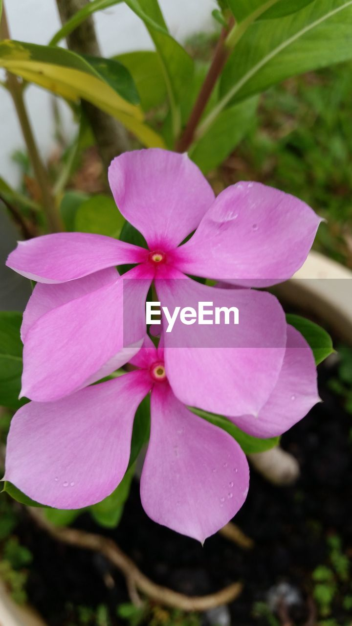 petal, flower, beauty in nature, growth, fragility, nature, freshness, pink color, close-up, flower head, day, no people, plant, focus on foreground, outdoors, blooming, periwinkle