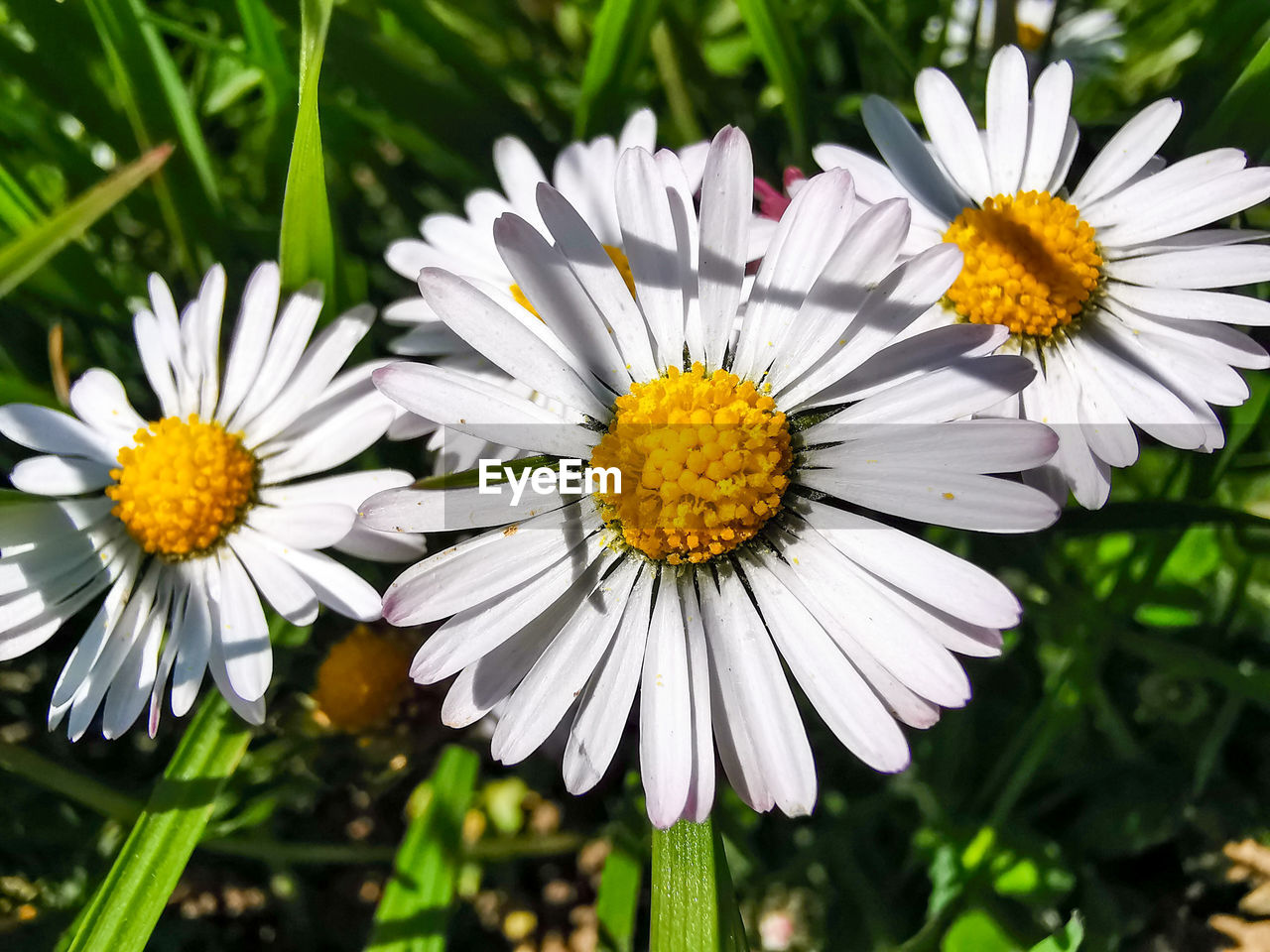 flowering plant, flower, vulnerability, fragility, plant, freshness, petal, growth, beauty in nature, flower head, inflorescence, close-up, white color, focus on foreground, daisy, pollen, nature, day, yellow, no people, outdoors, gazania