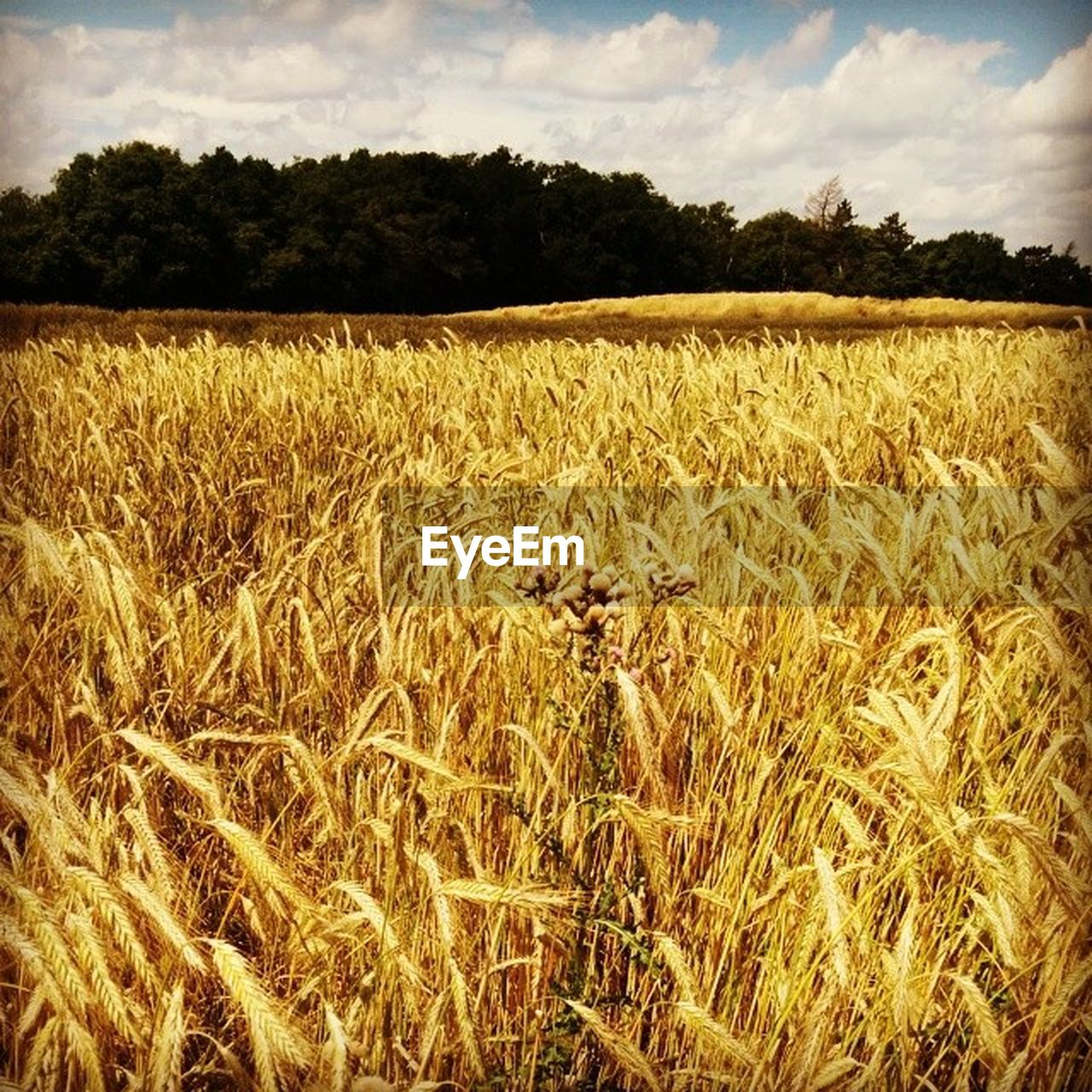 field, agriculture, growth, nature, landscape, sky, tranquility, crop, outdoors, no people, beauty in nature, tranquil scene, plant, scenics, tree, wheat, rural scene, cereal plant, day