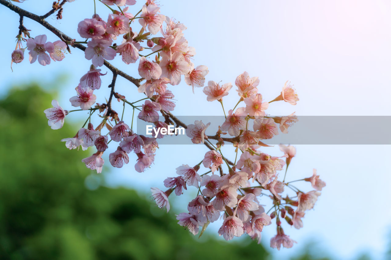 flowering plant, flower, plant, fragility, growth, vulnerability, beauty in nature, tree, blossom, freshness, day, springtime, close-up, nature, branch, sky, no people, low angle view, focus on foreground, selective focus, outdoors, cherry blossom, flower head, cherry tree, spring