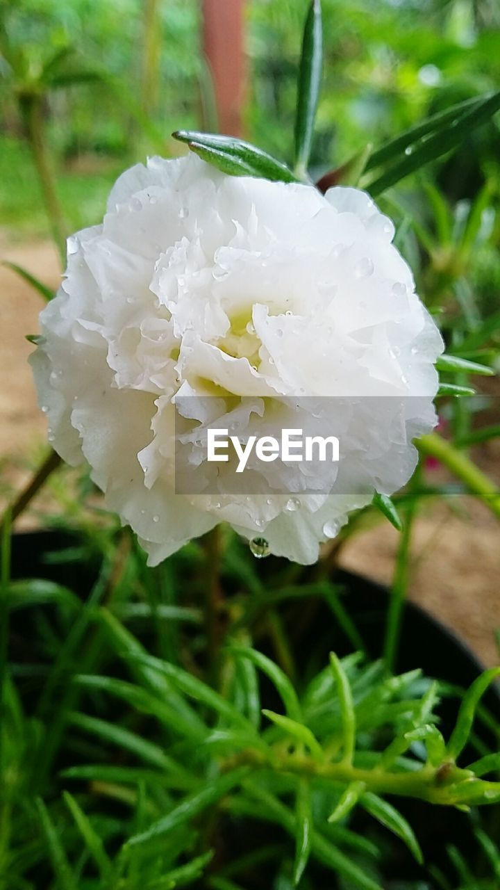 flower, petal, nature, beauty in nature, growth, white color, green color, freshness, fragility, flower head, plant, blooming, focus on foreground, close-up, rose - flower, no people, day, outdoors, grass, water