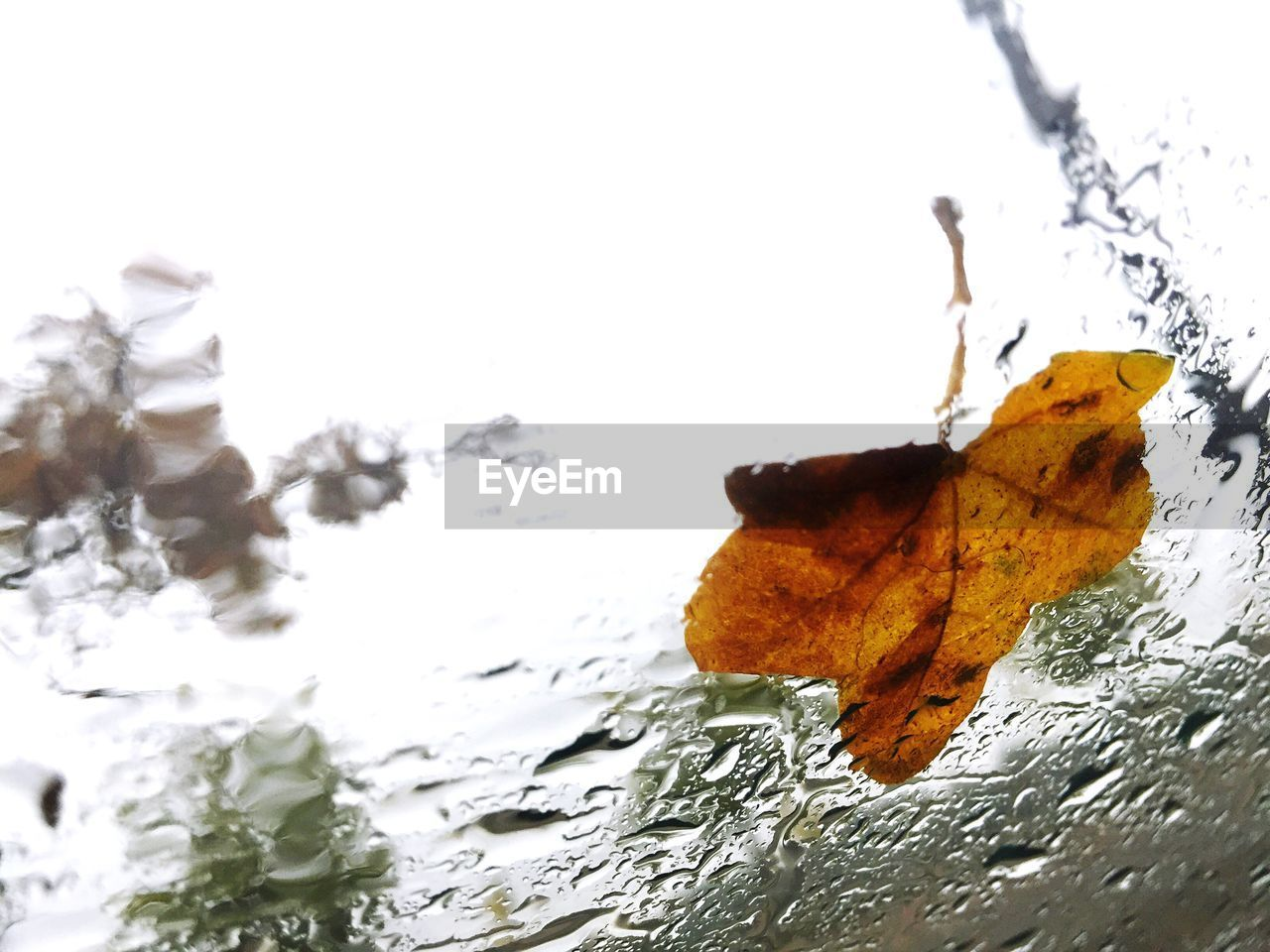 leaf, autumn, change, close-up, no people, nature, fragility, day, white background, water, outdoors