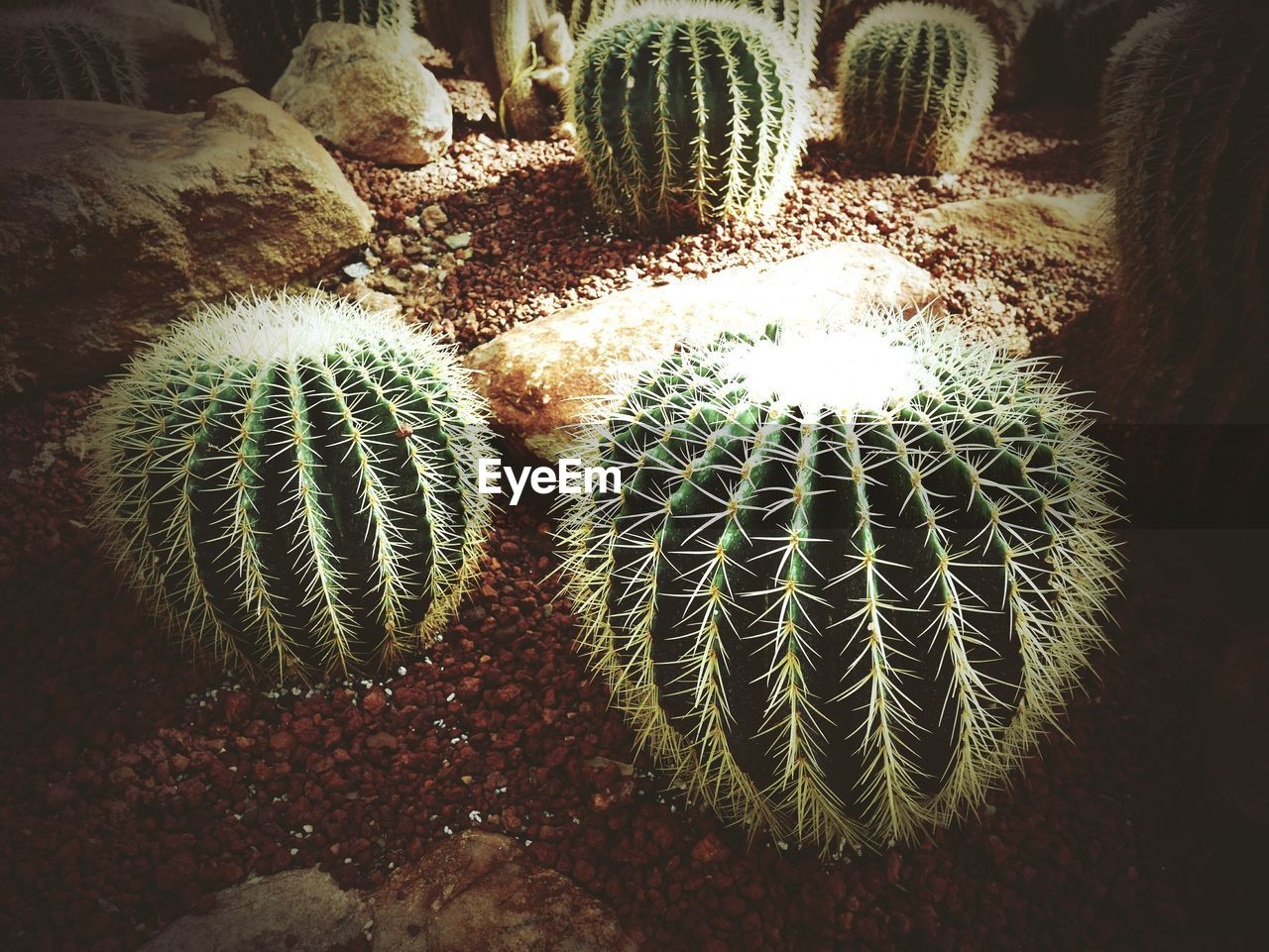 cactus, barrel cactus, thorn, plant, growth, spiked, nature, danger, green color, no people, risk, field, high angle view, day, outdoors, beauty in nature, close-up