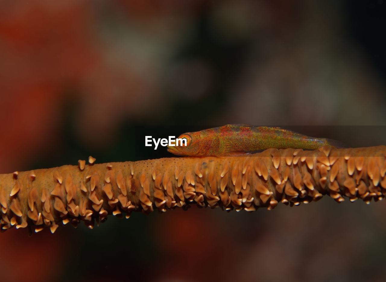 Bryaninops yongei