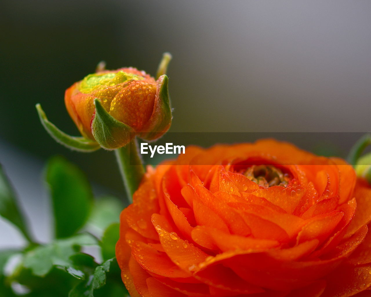 flower, freshness, petal, nature, beauty in nature, orange color, fragility, flower head, growth, drop, close-up, plant, no people, leaf, blooming, water, outdoors, day