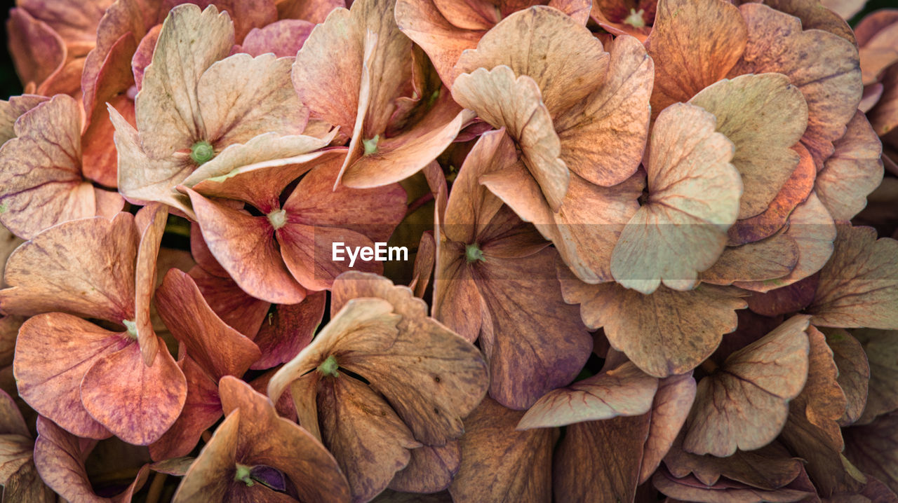 full frame, backgrounds, close-up, fragility, vulnerability, plant, flower, no people, leaf, plant part, flowering plant, nature, beauty in nature, day, freshness, abundance, petal, leaves, autumn, dry, flower head, outdoors, change, wilted plant, dried