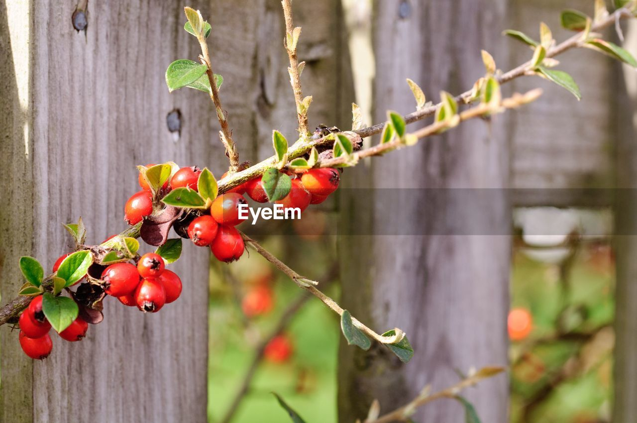 growth, red, focus on foreground, growing, outdoors, plant, fruit, leaf, no people, day, food and drink, nature, tree, close-up, food, freshness