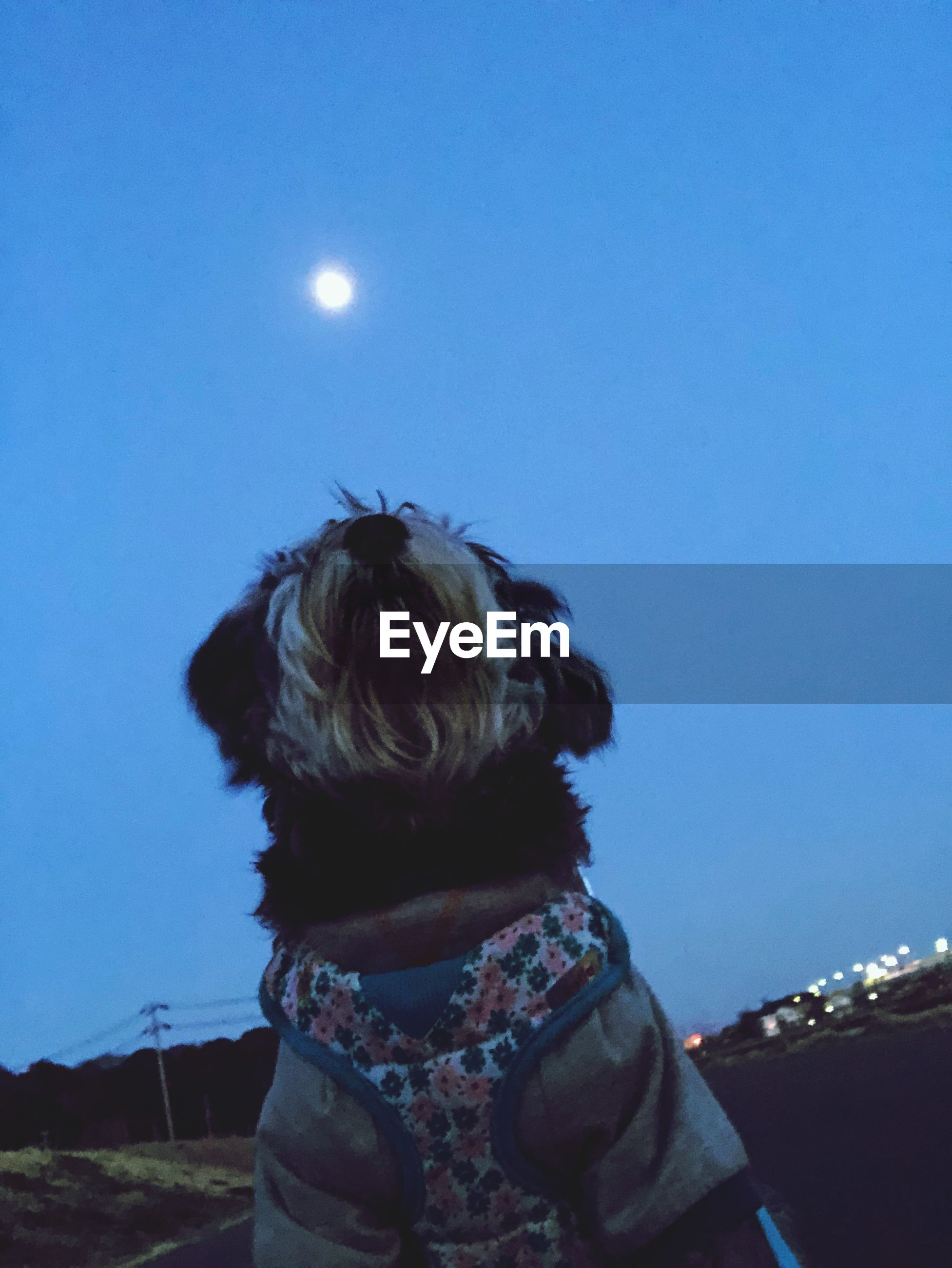 Low angle view of dog against clear blue sky at dusk