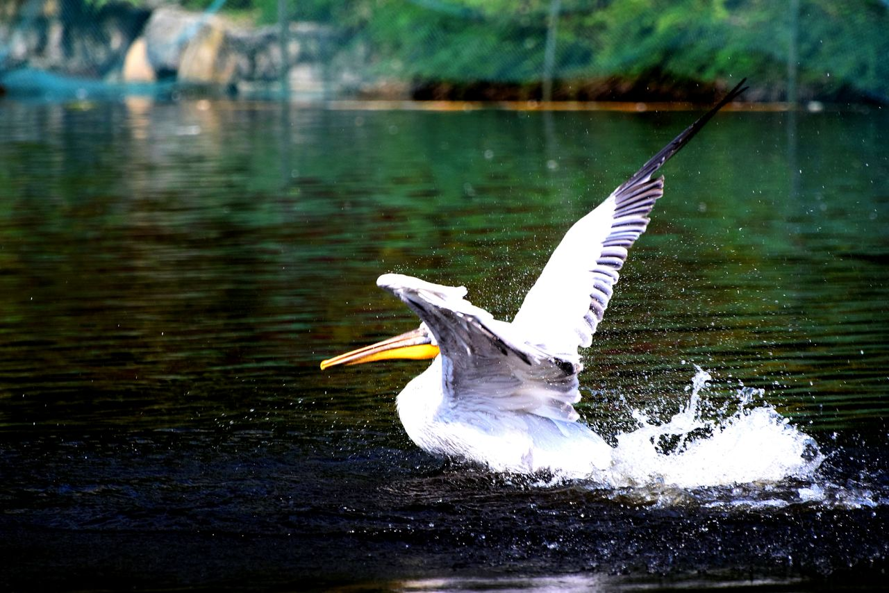 water, one animal, bird, lake, animal themes, animals in the wild, white color, nature, waterfront, spread wings, day, focus on foreground, animal wildlife, outdoors, motion, no people, beak, beauty in nature, swan, close-up