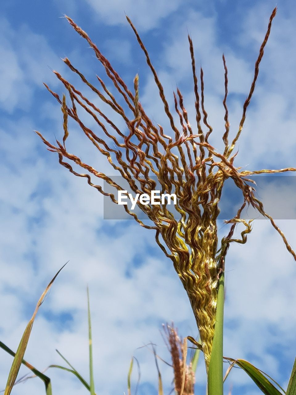 growth, plant, sky, nature, no people, beauty in nature, focus on foreground, cloud - sky, day, close-up, agriculture, crop, tranquility, cereal plant, outdoors, sunlight, field, wheat, rural scene, farm, stalk