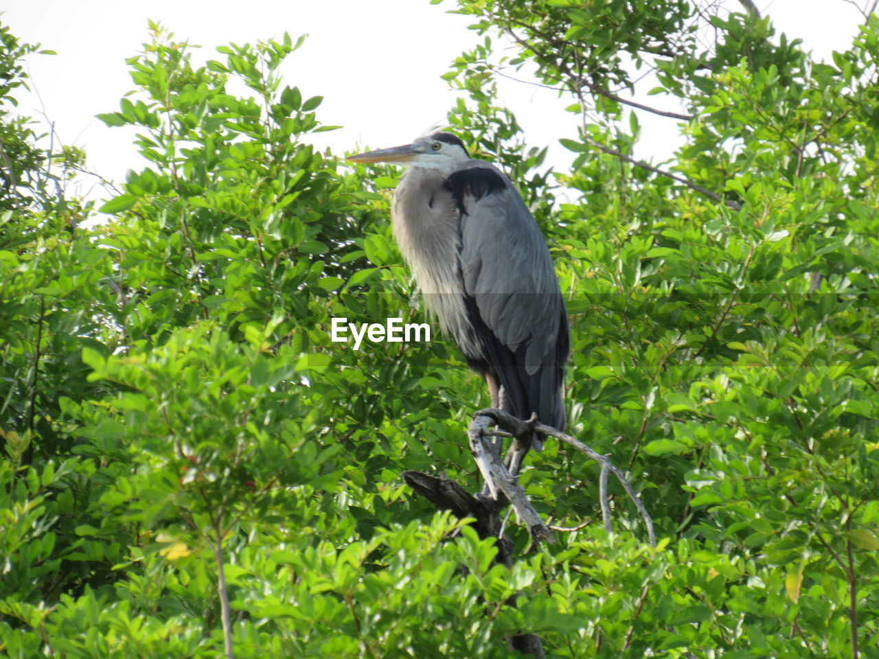 bird, animals in the wild, animal themes, one animal, animal wildlife, tree, perching, heron, no people, nature, gray heron, plant, green color, leaf, day, low angle view, growth, full length, outdoors, branch, beauty in nature