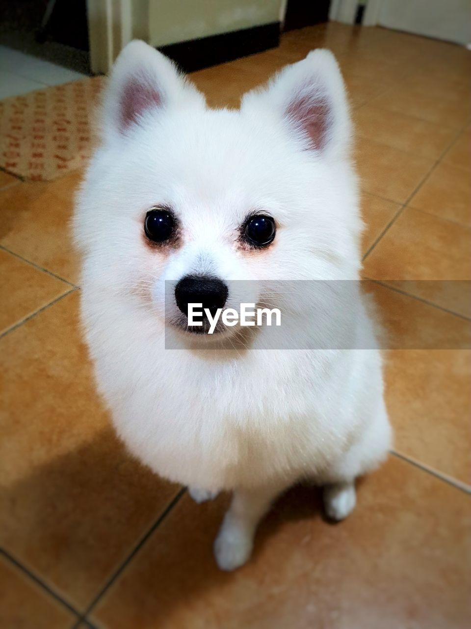 pets, one animal, domestic animals, animal themes, indoors, looking at camera, dog, mammal, pomeranian, portrait, home interior, close-up, no people, day
