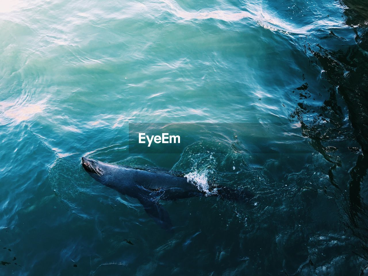 animal themes, animals in the wild, one animal, animal wildlife, water, sea life, high angle view, no people, nature, aquatic mammal, sea, day, fish, mammal, outdoors, swimming, close-up, humpback whale