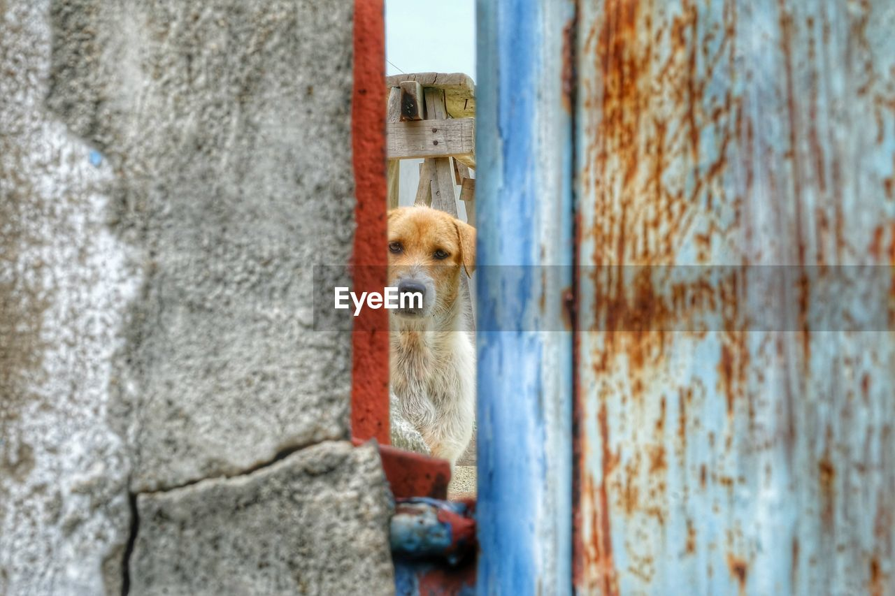 mammal, one animal, animal themes, animal, vertebrate, no people, day, domestic, domestic animals, pets, wall - building feature, outdoors, looking, entrance, weathered, built structure, wall, architecture, door, looking away, animal head