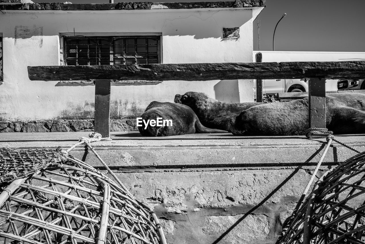animal themes, animal, mammal, vertebrate, one animal, domestic, domestic animals, pets, architecture, no people, built structure, day, nature, sleeping, animal wildlife, building exterior, livestock, relaxation, resting, outdoors, herbivorous, animal head