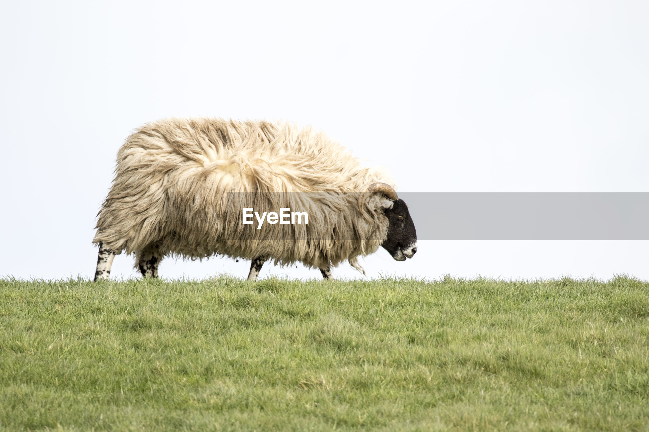 Sheep on field against clear sky