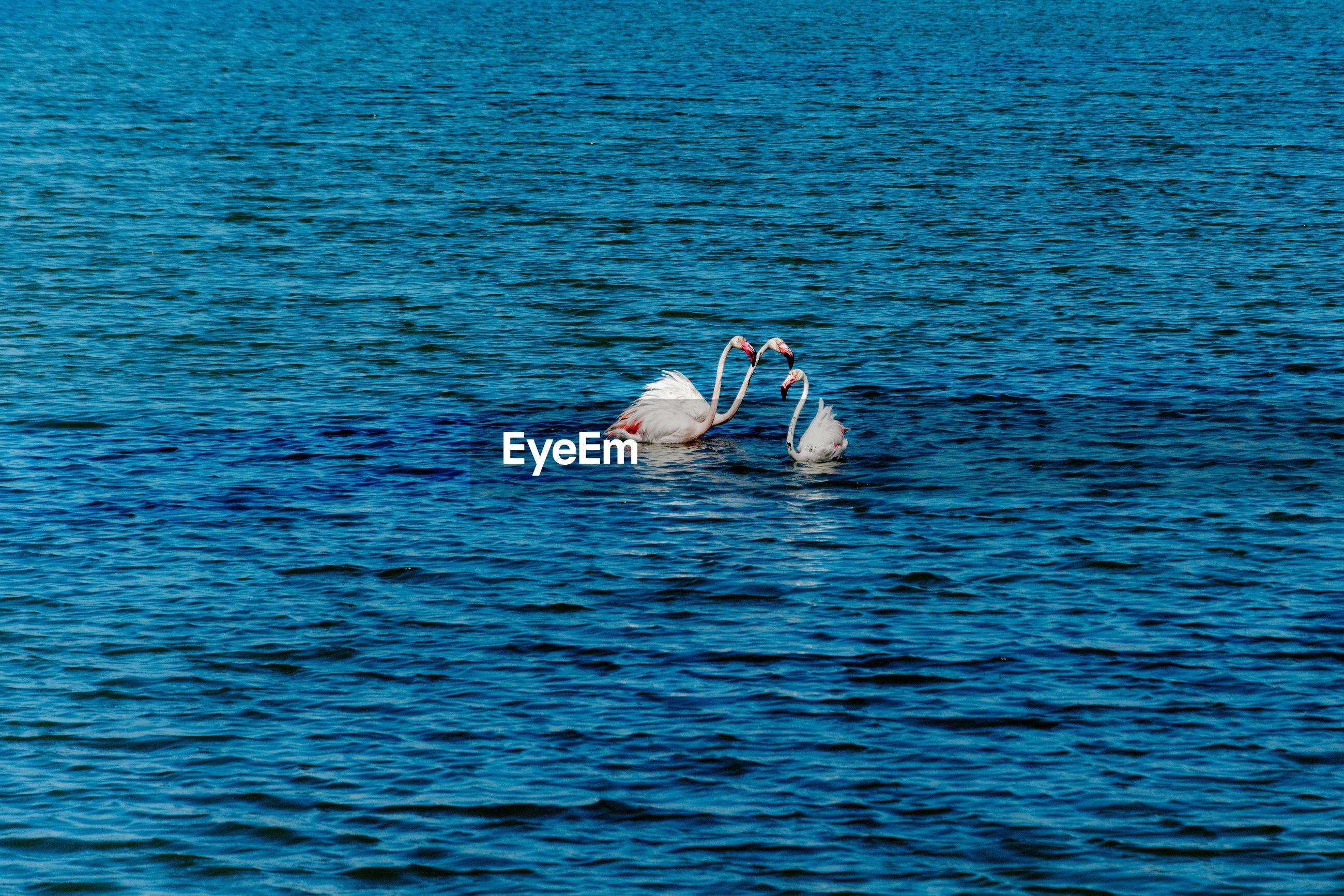 Flamingoes swimming in sea