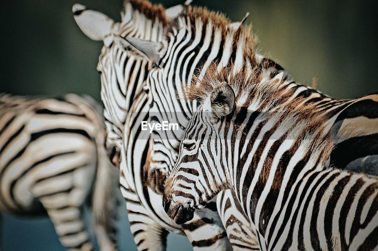 Close-up of zebras