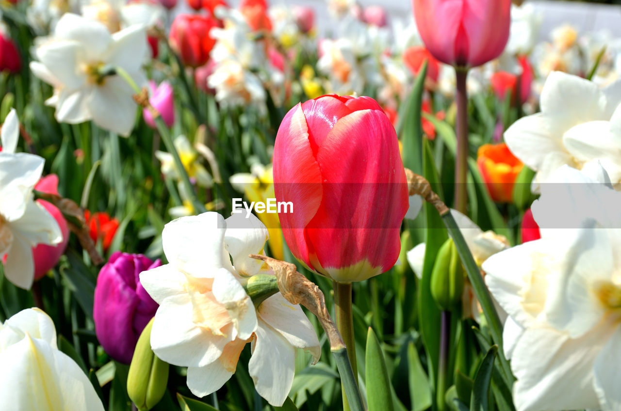 flowering plant, flower, beauty in nature, petal, vulnerability, fragility, plant, freshness, tulip, flower head, inflorescence, close-up, growth, red, nature, no people, multi colored, white color, day, outdoors, flower arrangement, springtime, bouquet, flowerbed