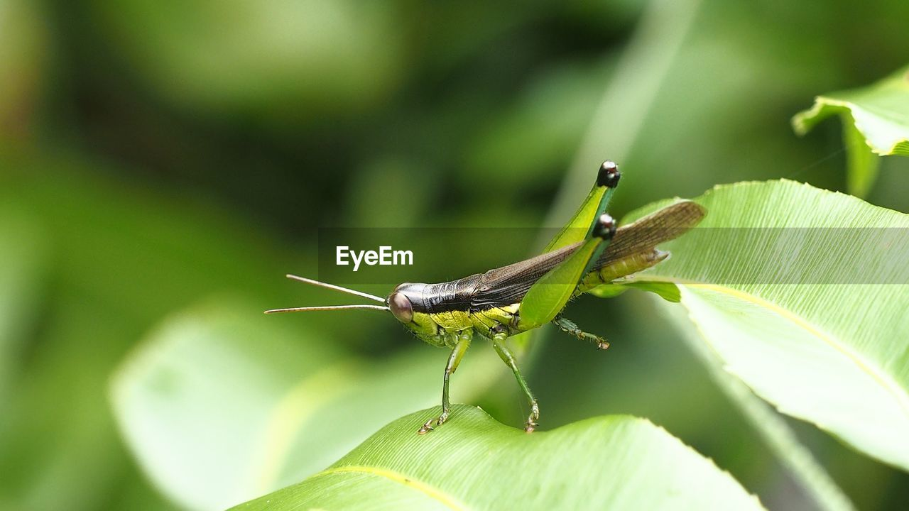 invertebrate, animal themes, insect, one animal, animal, animal wildlife, animals in the wild, green color, plant part, leaf, close-up, nature, day, no people, focus on foreground, selective focus, animal antenna, grasshopper, animal body part, plant, outdoors