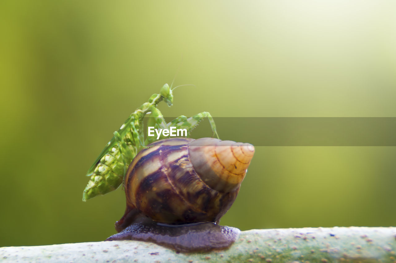 close-up, invertebrate, animal, animal themes, animal wildlife, no people, day, mollusk, nature, focus on foreground, one animal, green color, plant, gastropod, animals in the wild, snail, selective focus, shell, animal shell, beauty in nature, outdoors