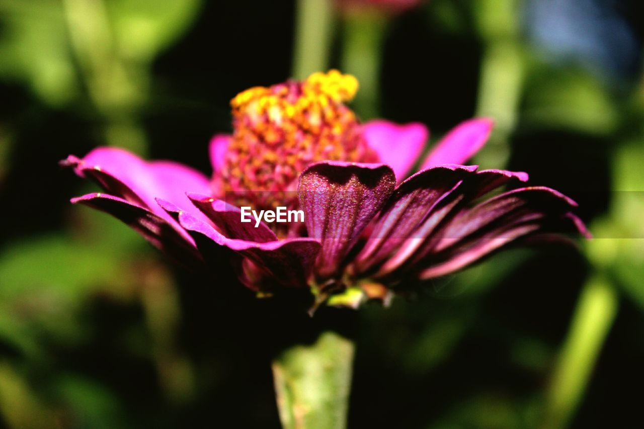 flower, petal, fragility, beauty in nature, nature, freshness, growth, flower head, plant, no people, purple, outdoors, day, close-up, blooming
