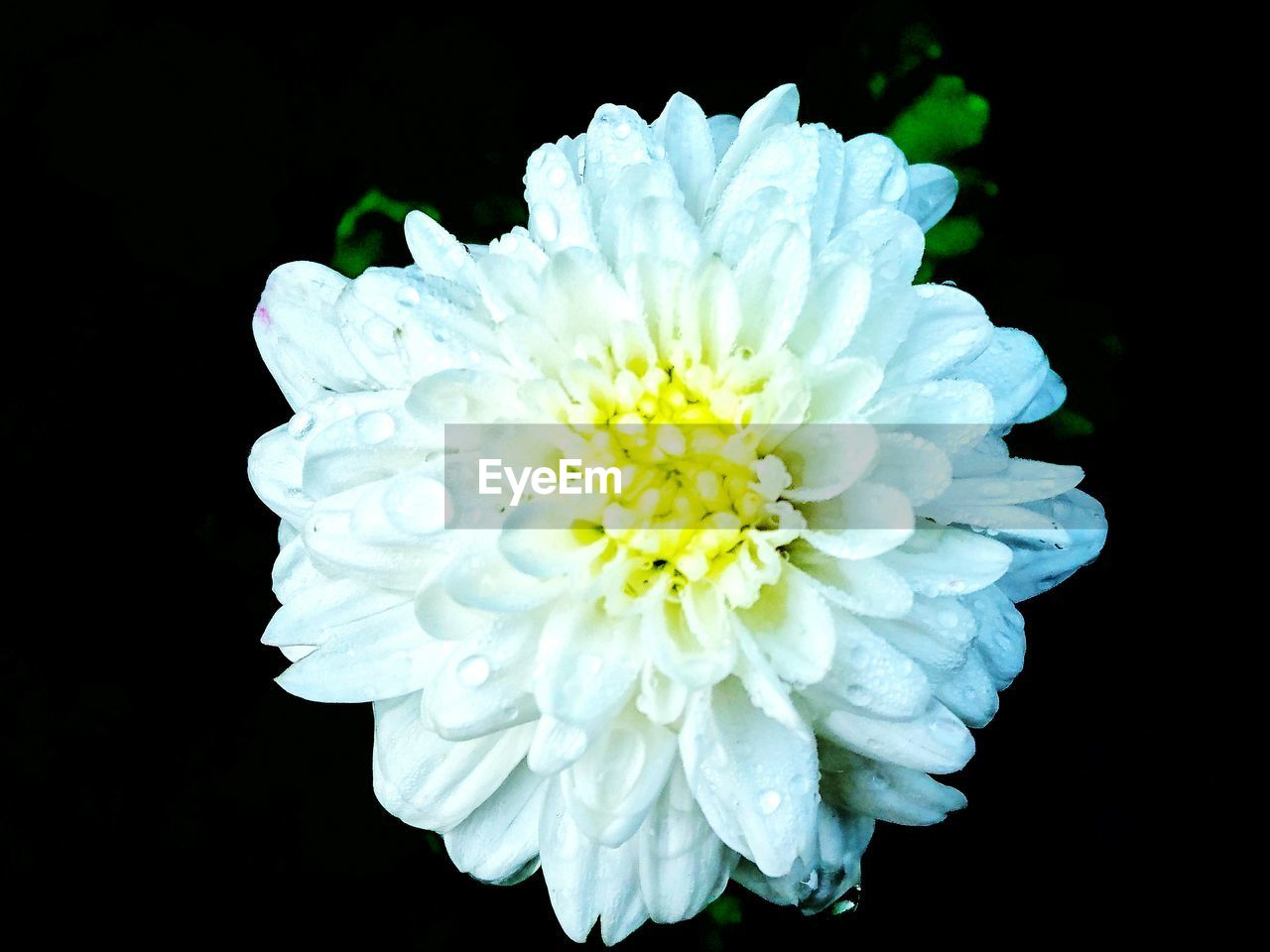 flower, petal, black background, white color, beauty in nature, fragility, nature, flower head, close-up, studio shot, no people, growth, freshness, blooming, day, outdoors